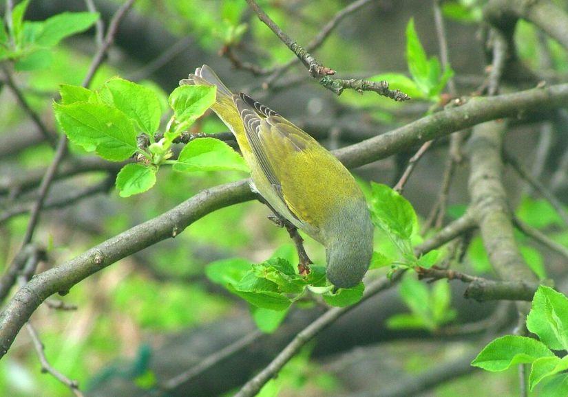 tennessee warbler picks flower head - toronto