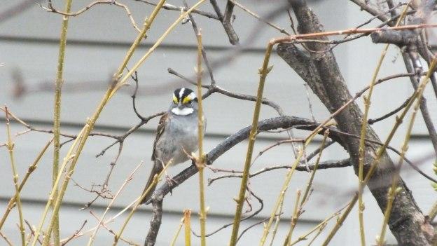 white-throated sparrow in bush_toronto_ontario