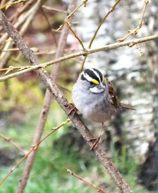 white-throated sparrow looks down in tree_toronto_ontario