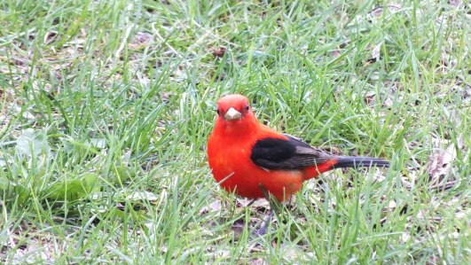 Scarlet Tanager looks to camera - ashbridges bay park - toronto