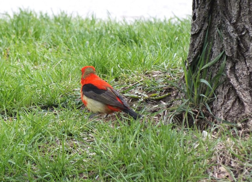Scarlet Tanager on grass at ashbridges bay park - toronto