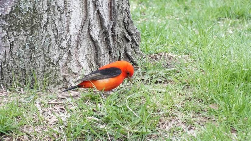 Scarlet Tanager, male, ashbridges bay park, toronto