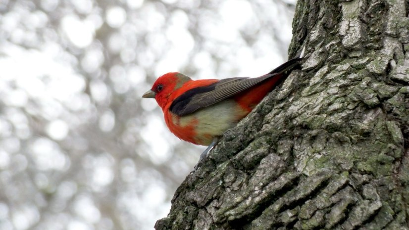 Scarlet Tanager on tree - ashbridges bay park - toronto