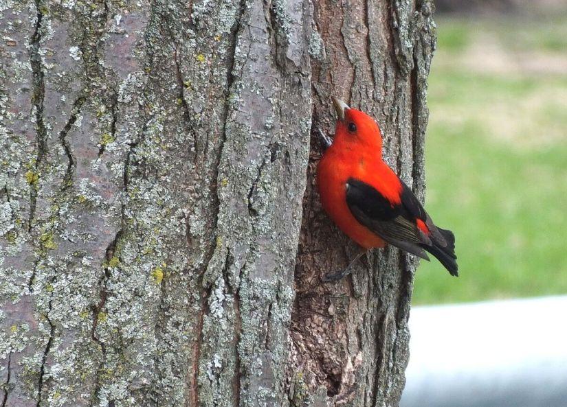 Scarlet Tanager on tree at ashbridges bay park - toronto