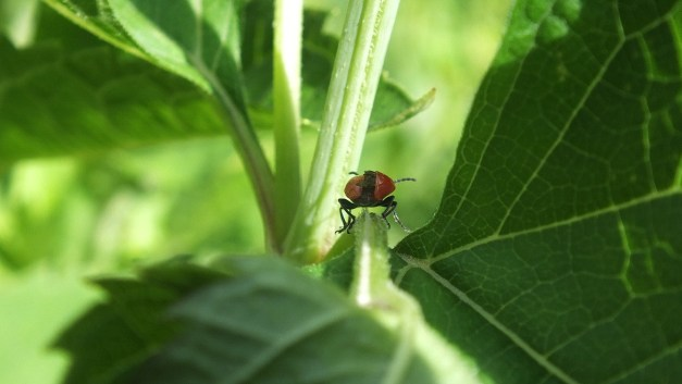 Red lily beetle in toronto garden 3
