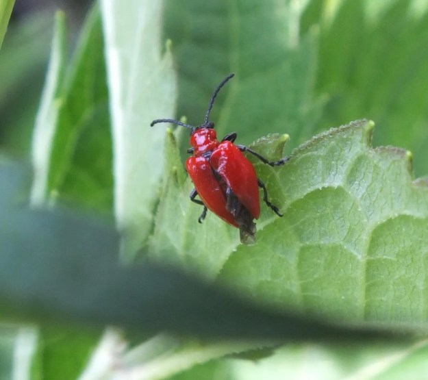 Red lily beetle in toronto garden