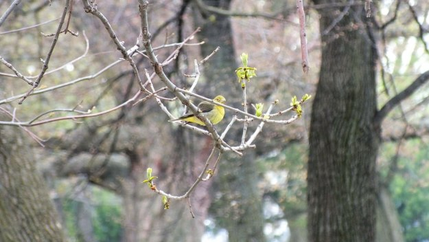 female scarlet tanager in tree at ashbridges bay park - toronto