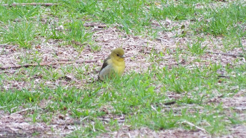 female scarlet tanager on grass at ashbridges bay park - toronto