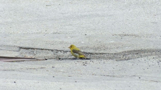 female scarlet tanager on parking lot at ashbridges bay park - toronto