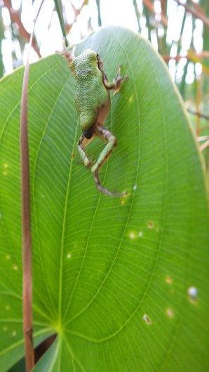 Gray treefrog climbing up a green leaf at Lower Reesor Pond in Toronto, Ontario, Canada