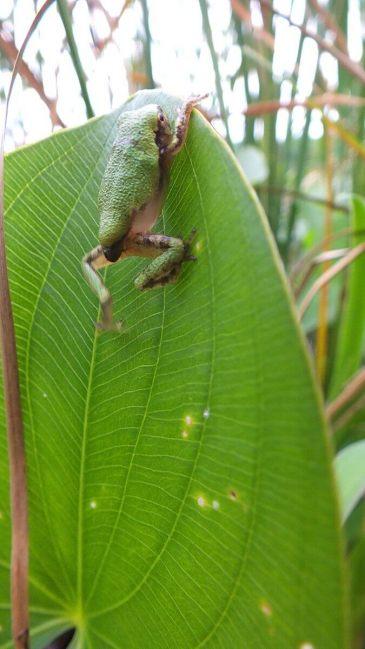 Gray treefrog climbing green leaf at Lower Reesor Pond in Toronto, Ontario, Canada