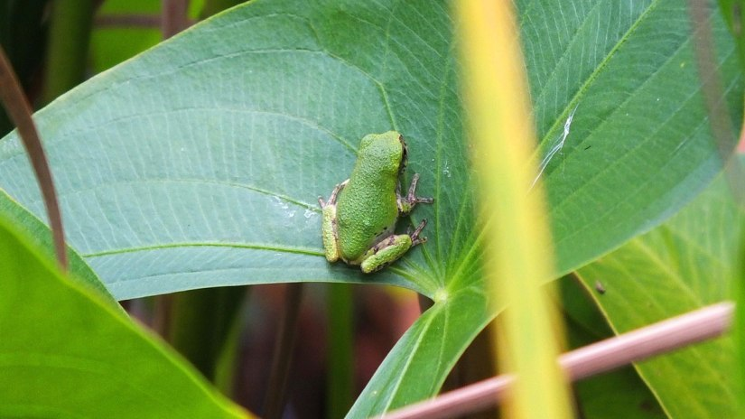 Gray treefrog on a plant leaf at Lower Reesor Pond in Toronto, Ontario, Canada