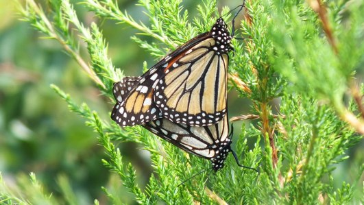 monarch butterflies mating at lower reesor pond - toronto 4