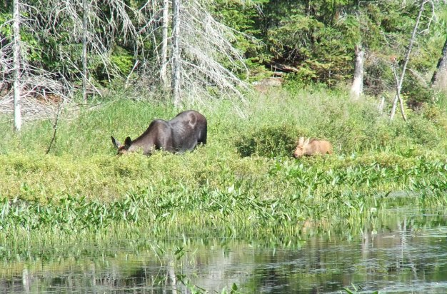 moose cow with her calf in algonquin park - ontario 2
