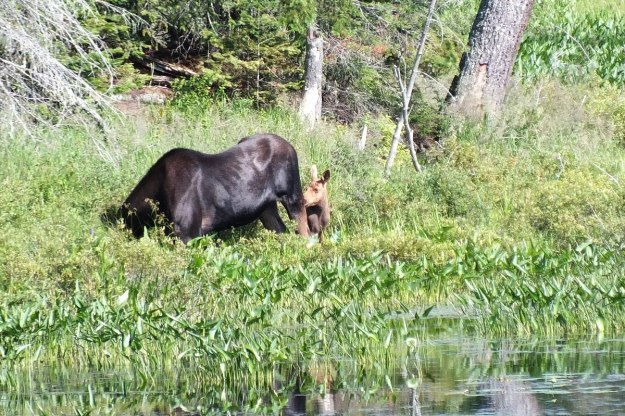 moose cow with her calf in algonquin park - ontario 4