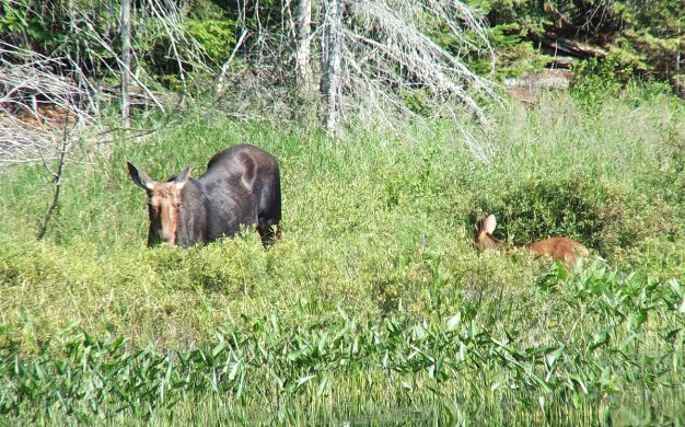 moose cow with her calf in algonquin park - ontario 6