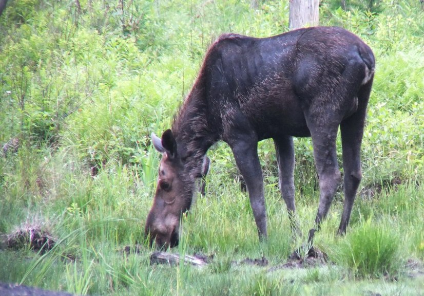 moose - female drinking in algonquin provincial park - ontario 2