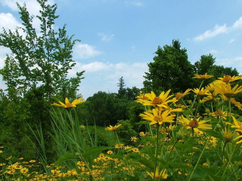 sunchokes growing at lower reesor pond - toronto 7