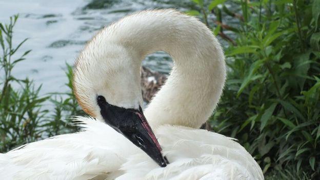 trumpeter swan preens at toronto park - july 2014