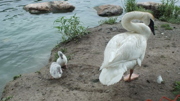 trumpeter swan with hatchlings at toronto park - july 2014