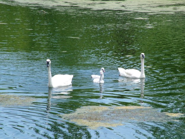 trumpeter swans with cygnets at milliken park - toronto 3