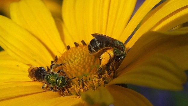 two green metallic bees collect pollen - toronto - ontario