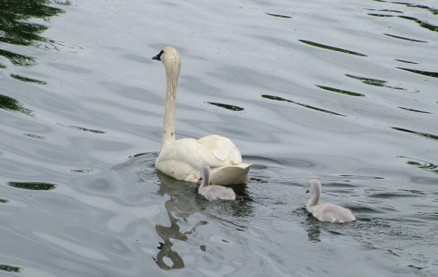 two trumpeter swan Cygnets follow mother at toronto park - july 2014