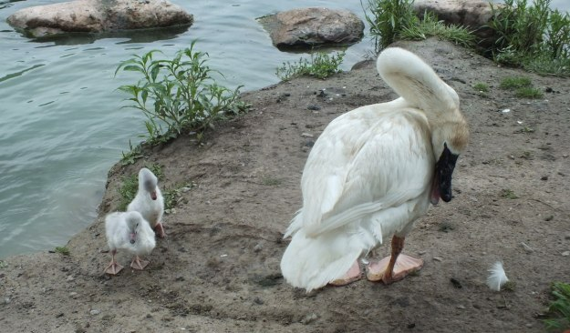 two trumpeter swan Cygnets toronto park 2 - july 2014