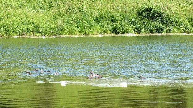 wood duck -female -with babies at rouge national urban park - toronto 6