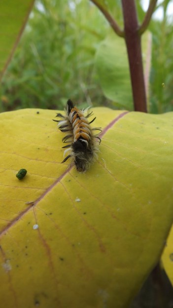Milkweed Tiger Moth caterpillar at tommy thompson park - toronto