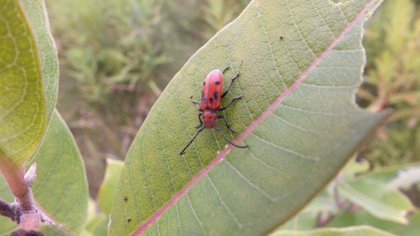 Red Milkweed Beetle at tommy thompson park - toronto
