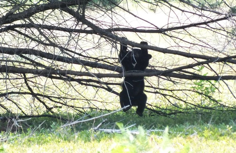 black bear cub hangs in tree - algonquin park - ontario 2