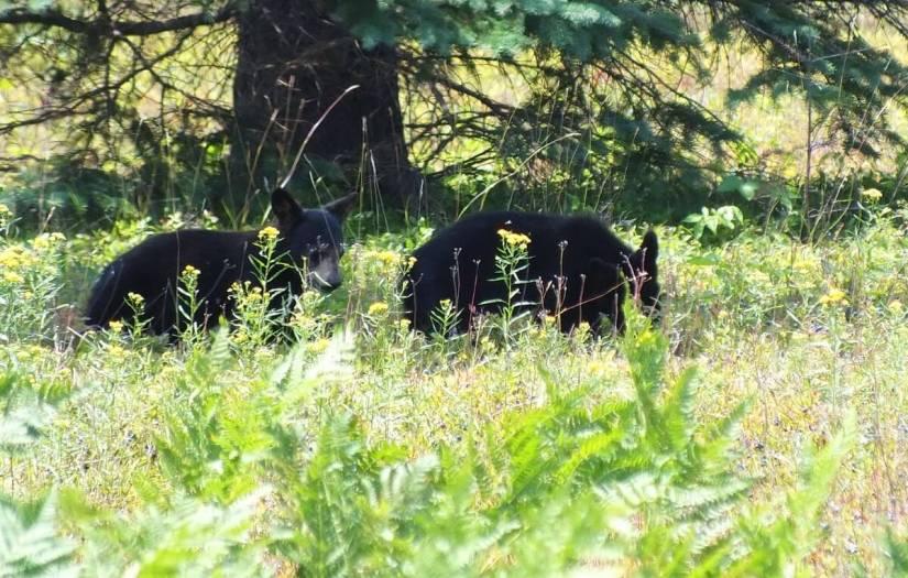 black bear cubs - algonquin park - ontario