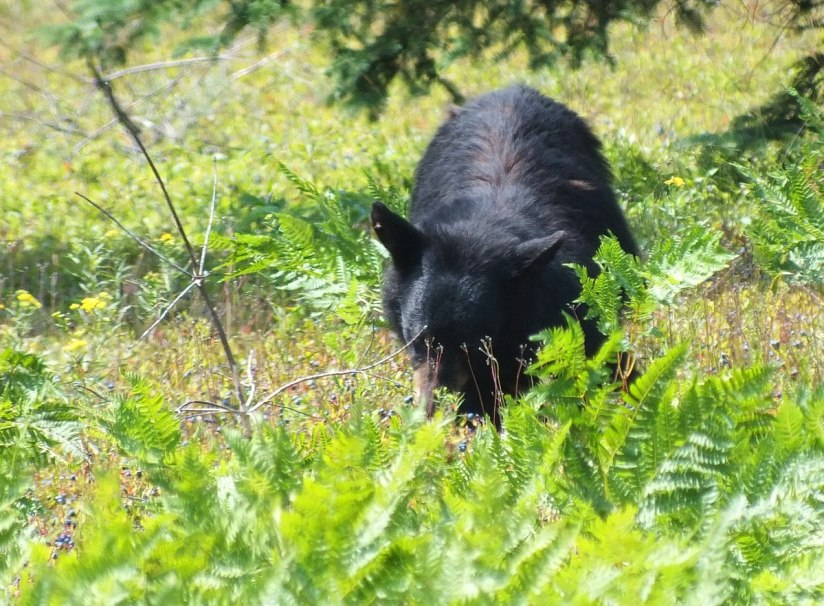 black bear eats blue berries - algonquin park 2