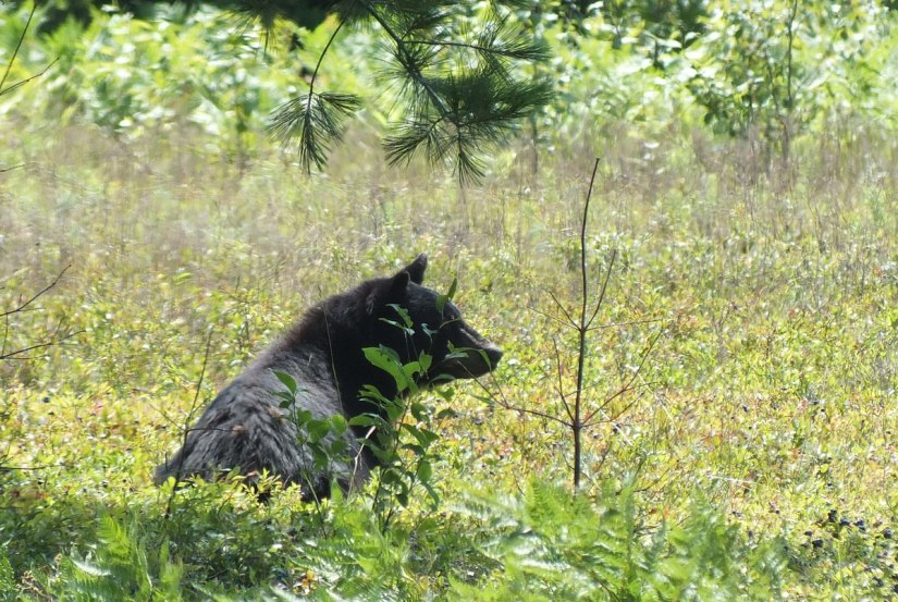 black bear sits under tree - algonquin park - ontario 2