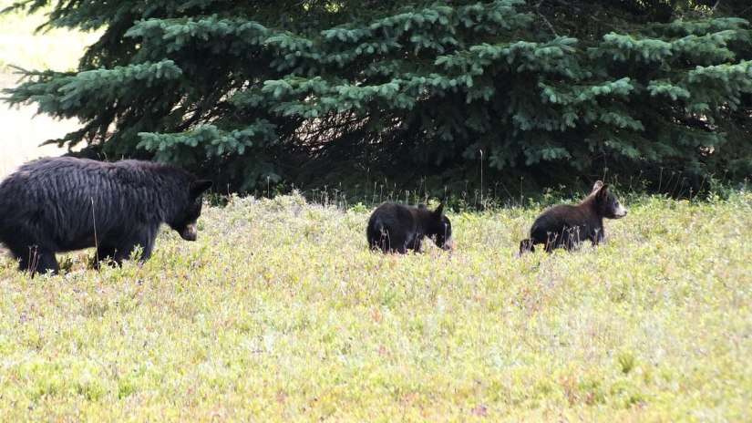 black bear with cubs - algonquin park - ontario 2