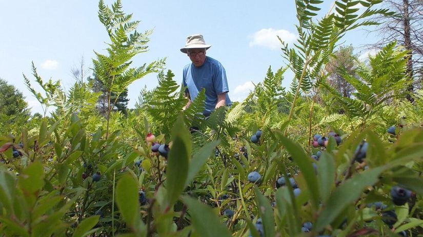 blueberries in algonquin park 2014