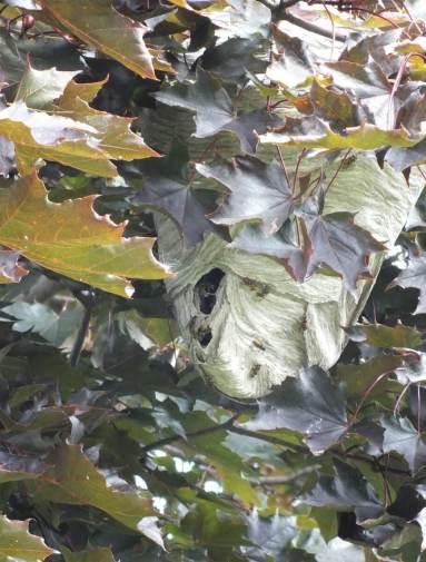 hornets nest in tree in milliken park - toronto - ontario 2