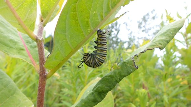 Monarch butterfly caterpillar forming chrysalis at Tommy Thompson Park, Toronto, Ontario