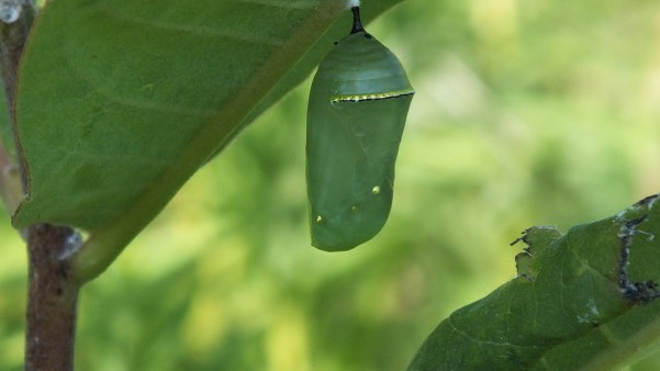 monarch butterfly chrysalis at tommy thompson park