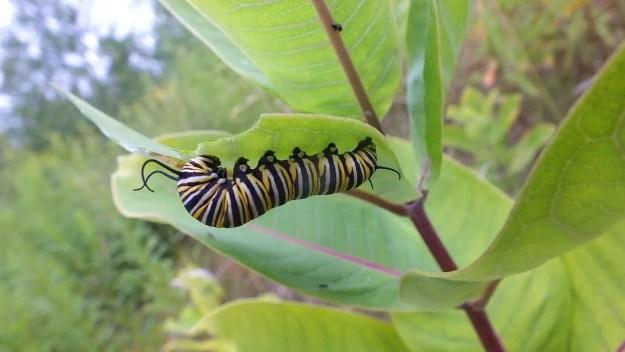 monarch butterfly larvae on milkweed - tommy thompson park - toronto 10
