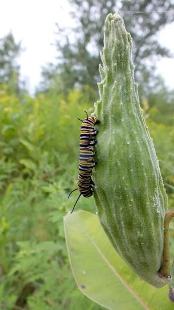 monarch butterfly larvae on milkweed - tommy thompson park - toronto 16