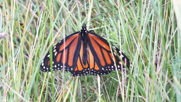 monarch butterfly on grass at tommy thompson park - toronto