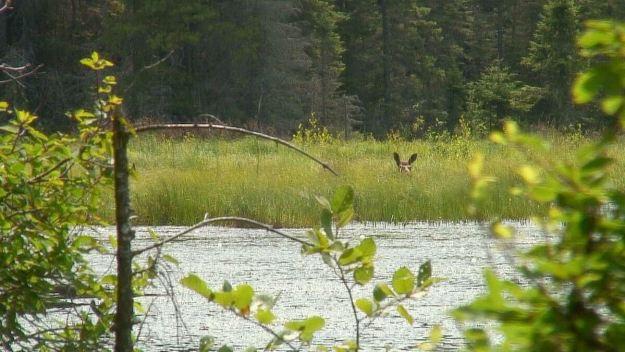 moose in algonquin park swamp - mizzy lake trail 2