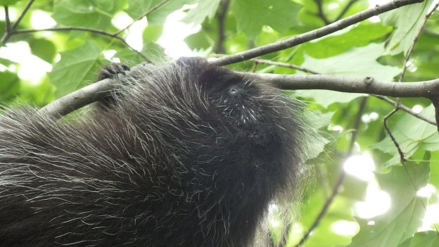 porcupine in forest - dwight - ontario 7