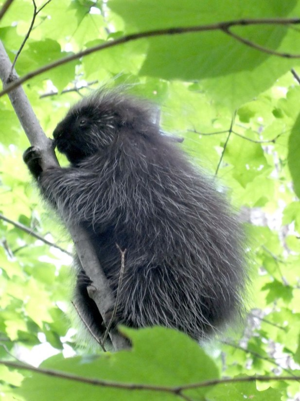 porcupine in forest - dwight - ontario 9