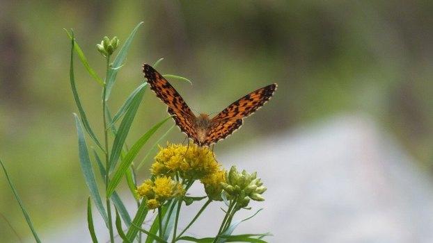 Atlantis Fritillary butterfly - mizzy lake trail - algonquin park - ontario - pic 6