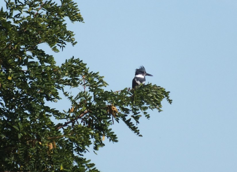 belted kingfisher at col sam smith park - etobicoke - ontario 3