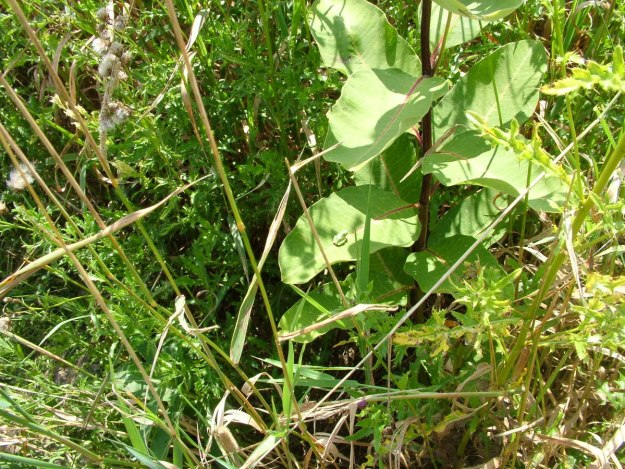 Eastern grey treefrog sitting on a milkweed plant at Atkinson Park Wetlands, Aurora, Ontario