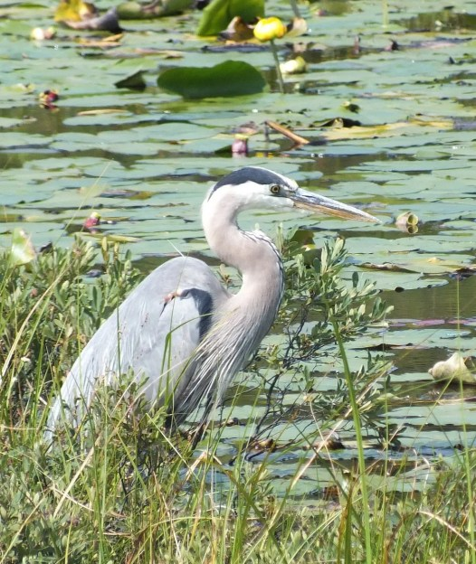 great blue heron along mizzy lake trail - algonquin park - ontario pic 6